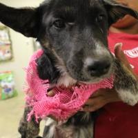 Adopt A Pet :: 36104901 - Cleveland, AL