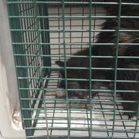 Domestic Shorthair/Domestic Shorthair Mix Cat for adoption in Belle Chasse, Louisiana - Jeann