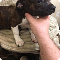 Boston Terrier Mix Dog for adoption in Rexford, New York - Peaches