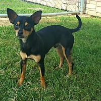 Adopt A Pet :: Whiskers - Irving, TX