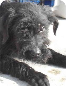 Giant Schnauzer Puppy for adoption in Temperance, Michigan - Mitzi