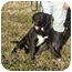 Photo 1 - Labrador Retriever Mix Dog for adoption in Graysville, Tennessee - Ricky Bobby