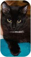 Domestic Mediumhair Cat for adoption in High River, Alberta - Dan