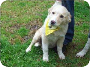Retriever (Unknown Type) Mix Puppy for adoption in Louisburg, North Carolina - Sweetie