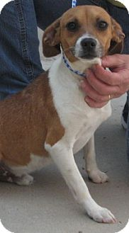 Jack Russell Terrier/Rat Terrier Mix Dog for adoption in Newberry, South Carolina - Jake