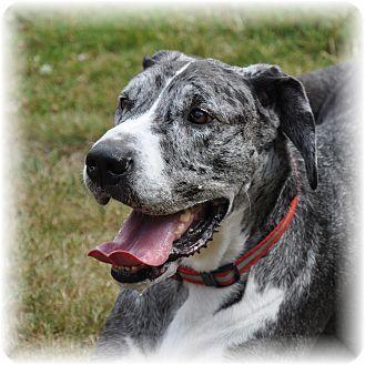 Great Dane Dog for adoption in Seattle c/o Kingston 98346/ Washington State, Washington - Lexus