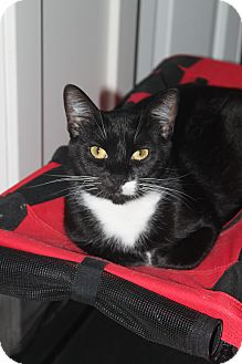 Domestic Shorthair Cat for adoption in North Branford, Connecticut - Brianna