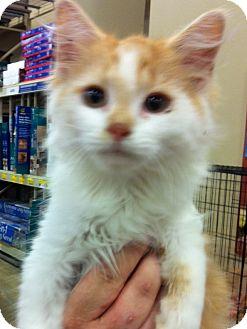 Turkish Angora Kitten for adoption in Pittstown, New Jersey - Calvin