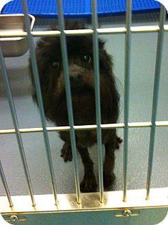 Schnauzer (Miniature)/Poodle (Miniature) Mix Dog for adoption in Phillips, Wisconsin - Nova