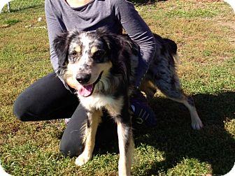 Australian Shepherd Dog for adoption in Indianola, Iowa - Ozzie