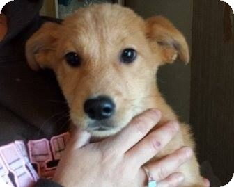 Retriever (Unknown Type)/Shepherd (Unknown Type) Mix Puppy for adoption in Houston, Texas - Jess