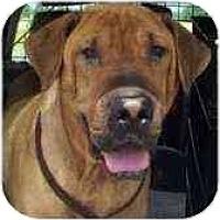 Adopt A Pet :: Homer - Bethesda, MD