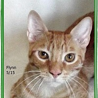 Domestic Shorthair Kitten for adoption in Plain City, Ohio - Flynn