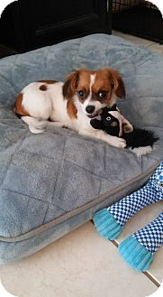 Cavalier King Charles Spaniel/Papillon Mix Puppy for adoption in Taylorsville, Utah - Hobbs