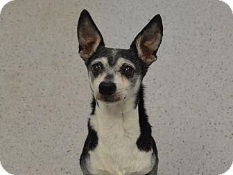 Dachshund Mix Dog for adoption in Gainesville, Florida - Nicky