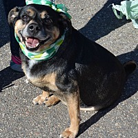 Pug/Beagle Mix Dog for adoption in Detroit, Michigan - Bugsy