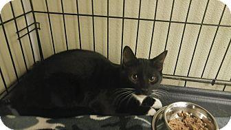 Domestic Shorthair Kitten for adoption in Westbury, New York - Archie