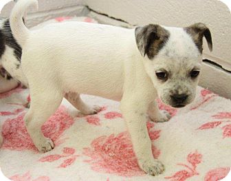 Parson Russell Terrier/Terrier (Unknown Type, Small) Mix Puppy for adoption in Orland Park, Illinois - Anna