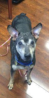 Doberman Pinscher/Australian Cattle Dog Mix Dog for adoption in Oak Ridge, New Jersey - Blossom