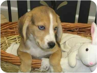 Beagle Mix Puppy for adoption in Springdale, Ohio - Barry