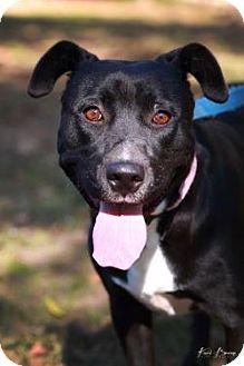 Labrador Retriever Mix Dog for adoption in Austin, Texas - Princess Texie