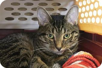 Domestic Shorthair Cat for adoption in Indianapolis, Indiana - Bobo
