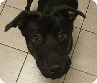 Labrador Retriever/Plott Hound Mix Dog for adoption in Paterson, New Jersey - Gerald
