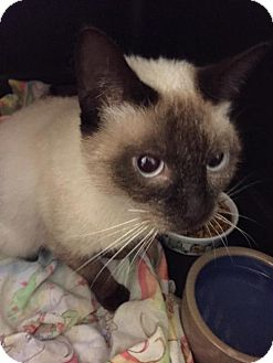 Siamese Cat for adoption in Nesquehoning, Pennsylvania - Sammy