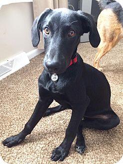 Labrador Retriever Mix Puppy for adoption in New Oxford, Pennsylvania - Nate