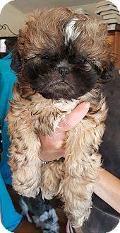 Shih Tzu Puppy for adoption in Los Angeles, California - Gizmo