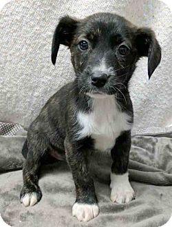 Hound (Unknown Type) Mix Puppy for adoption in Gahanna, Ohio - ADOPTED!!!   Siggy