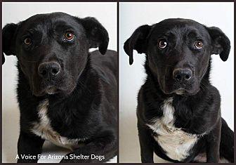 Labrador Retriever/Blue Heeler Mix Dog for adoption in Chandler, Arizona - Felix