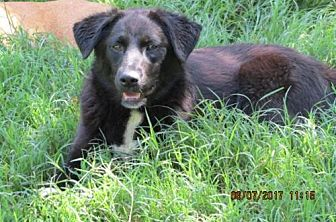 Flat-Coated Retriever Mix Dog for adoption in Rutledge, Tennessee - Happy