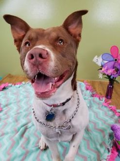 American Staffordshire Terrier Mix Dog for adoption in West Allis, Wisconsin - Tango