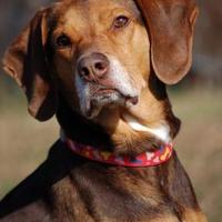Adopt A Pet :: Daisy Mae - Shelbyville, KY