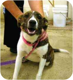 Border Collie Mix Puppy for adoption in Walker, Michigan - Ruby