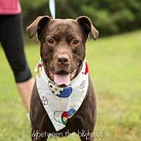 Adopt A Pet :: BOJANGLES - Raleigh, NC