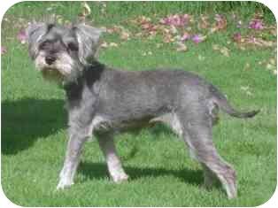 Schnauzer (Miniature) Dog for adoption in Albuquerque, New Mexico - Violet