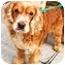 Photo 1 - Cocker Spaniel Dog for adoption in New York, New York - Goldie
