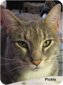 Domestic Shorthair Cat for adoption in Portland, Oregon - Pickle