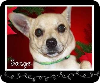 Chihuahua Mix Dog for adoption in San Clemente, California - SARGE