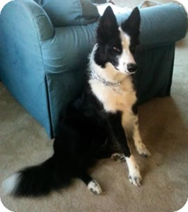 Border Collie Mix Dog for adoption in Oliver Springs, Tennessee - Jake