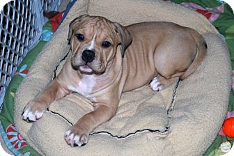 English Bulldog/American Pit Bull Terrier Mix Puppy for adoption in Minneola, Florida - Kelsie