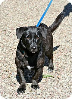 Dachshund/Labrador Retriever Mix Puppy for adoption in Hastings, New York - Onyx