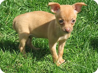 Chihuahua Puppy for adoption in Tumwater, Washington - Bella