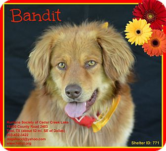 Golden Retriever Mix Dog for adoption in Plano, Texas - Bandit