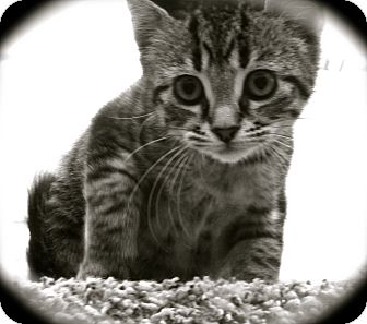 Domestic Shorthair Kitten for adoption in Warren, Ohio - Molly