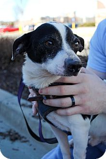 Jack Russell Terrier Mix Dog for adoption in Columbia, Tennessee - Lennie