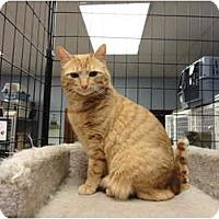 Adopt A Pet :: Cerenia - Kingston, WA