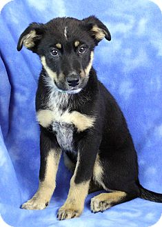 Greater Swiss Mountain Dog/Shepherd (Unknown Type) Mix Puppy for adoption in Westminster, Colorado - Ramirez